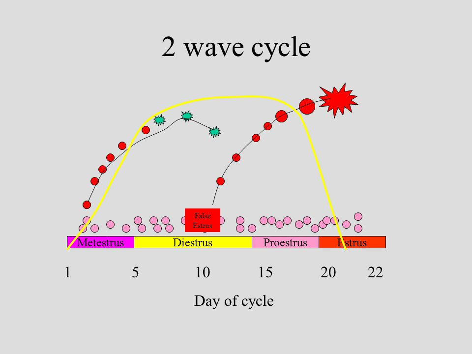 2 wave cycle MetestrusDiestrusProestrusEstrus 5 10 15 20 22 Day of cycle False Estrus 1