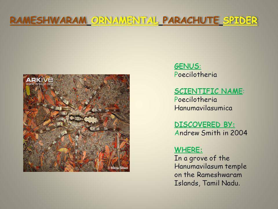 RAMESHWARAM ORNAMENTAL PARACHUTE SPIDER GENUS: Poecilotheria SCIENTIFIC NAME: Poecilotheria Hanumavilasumica DISCOVERED BY: Andrew Smith in 2004 WHERE: In a grove of the Hanumavilasum temple on the Rameshwaram Islands, Tamil Nadu.