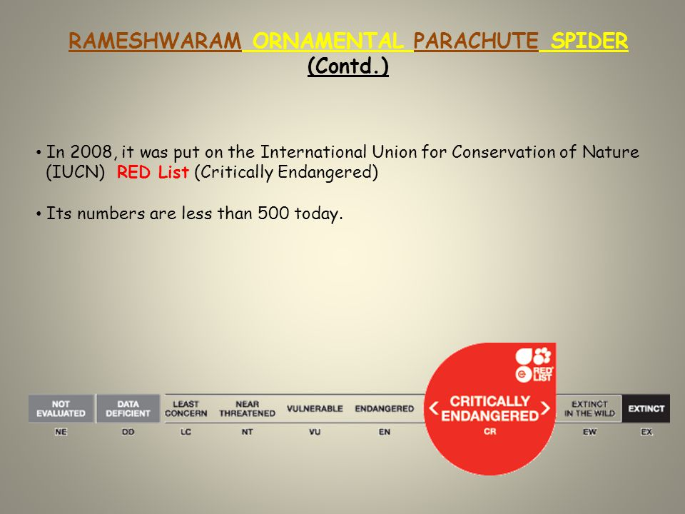 RAMESHWARAM ORNAMENTAL PARACHUTE SPIDER (Contd.) In 2008, it was put on the International Union for Conservation of Nature (IUCN) RED List (Critically Endangered) Its numbers are less than 500 today.