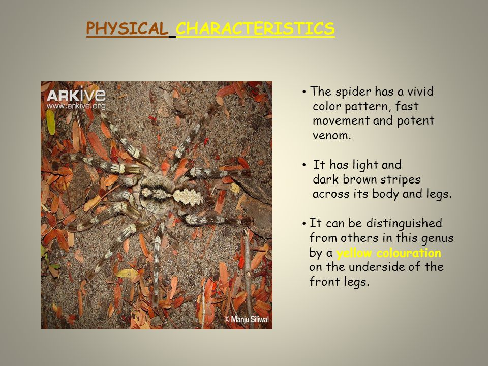 PHYSICAL CHARACTERISTICS The spider has a vivid color pattern, fast movement and potent venom.
