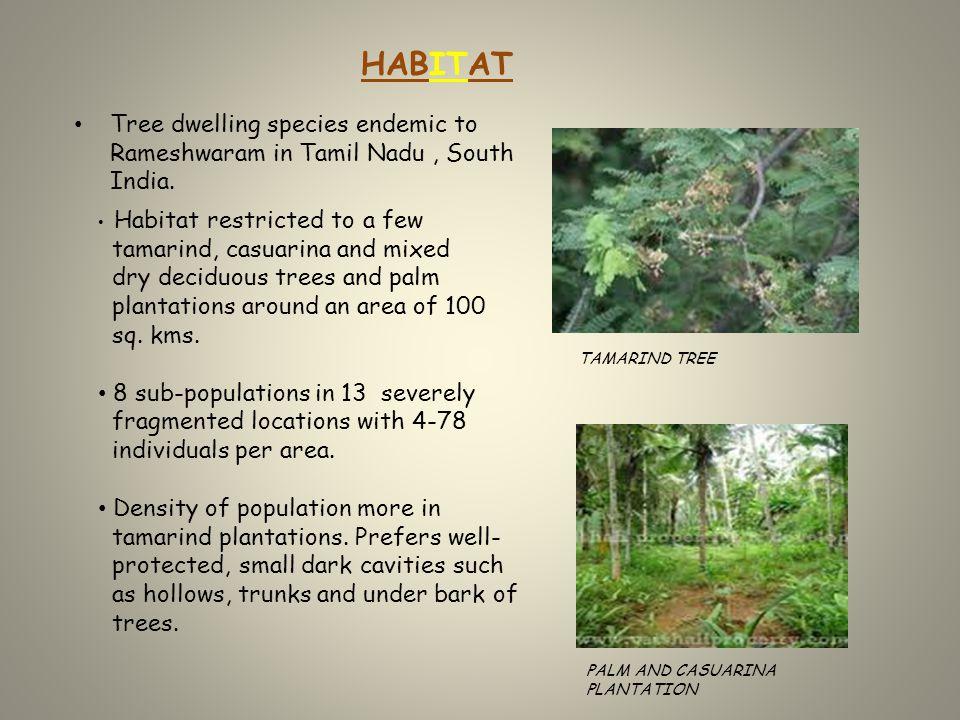 Tree dwelling species endemic to Rameshwaram in Tamil Nadu, South India.