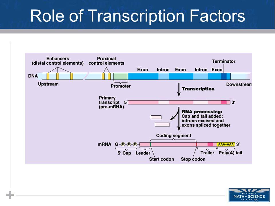 Role of Transcription Factors 12