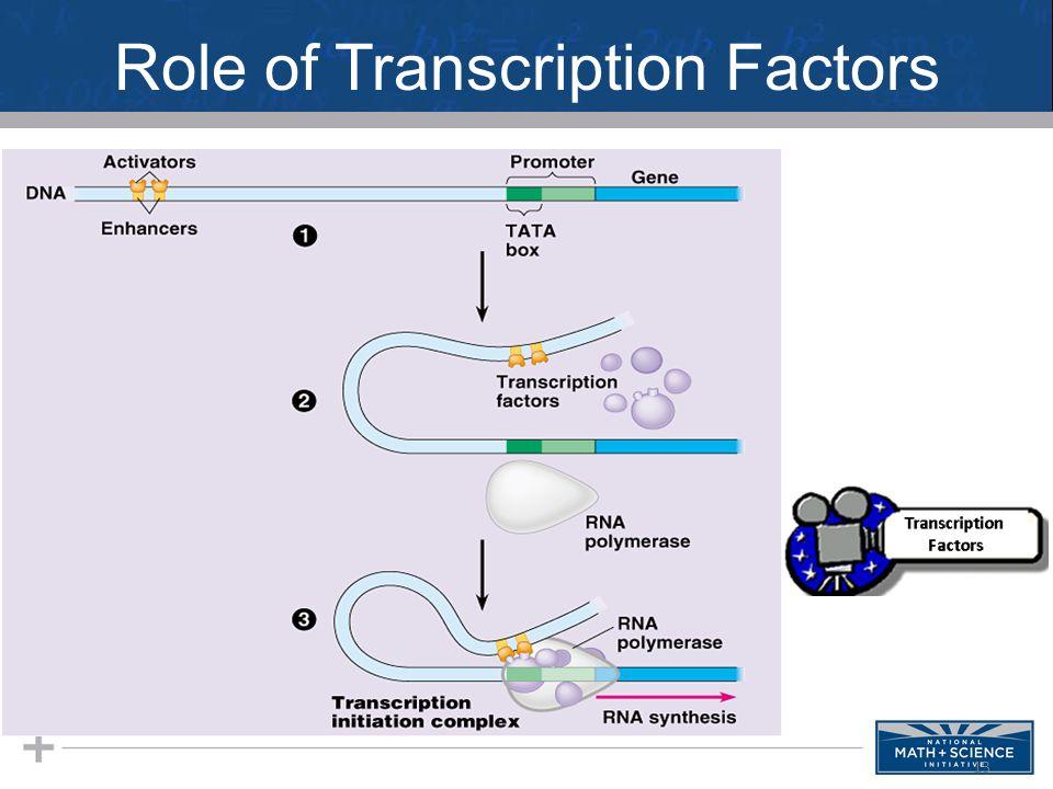 Role of Transcription Factors 13