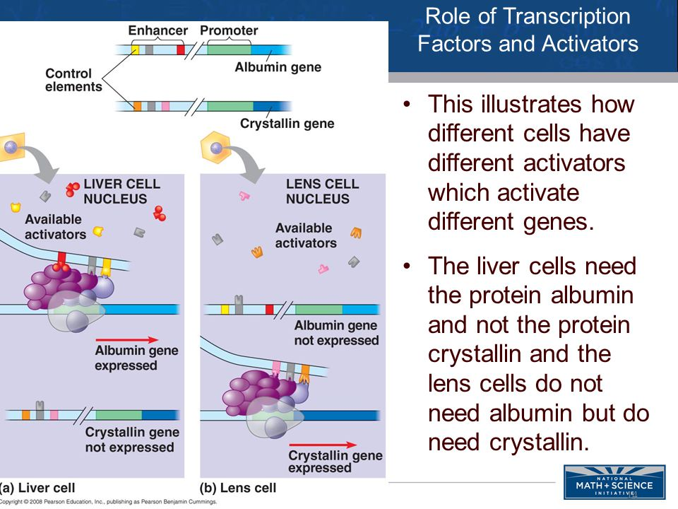 Role of Transcription Factors and Activators This illustrates how different cells have different activators which activate different genes.