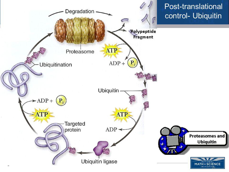 24 Post-translational control- Ubiquitin