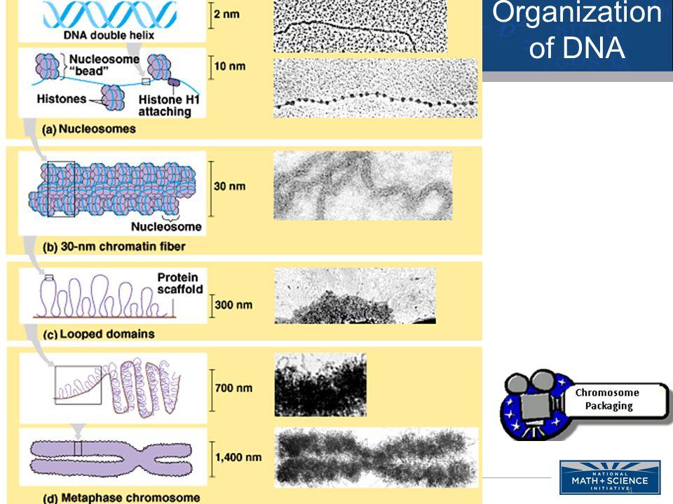4 Organization of DNA