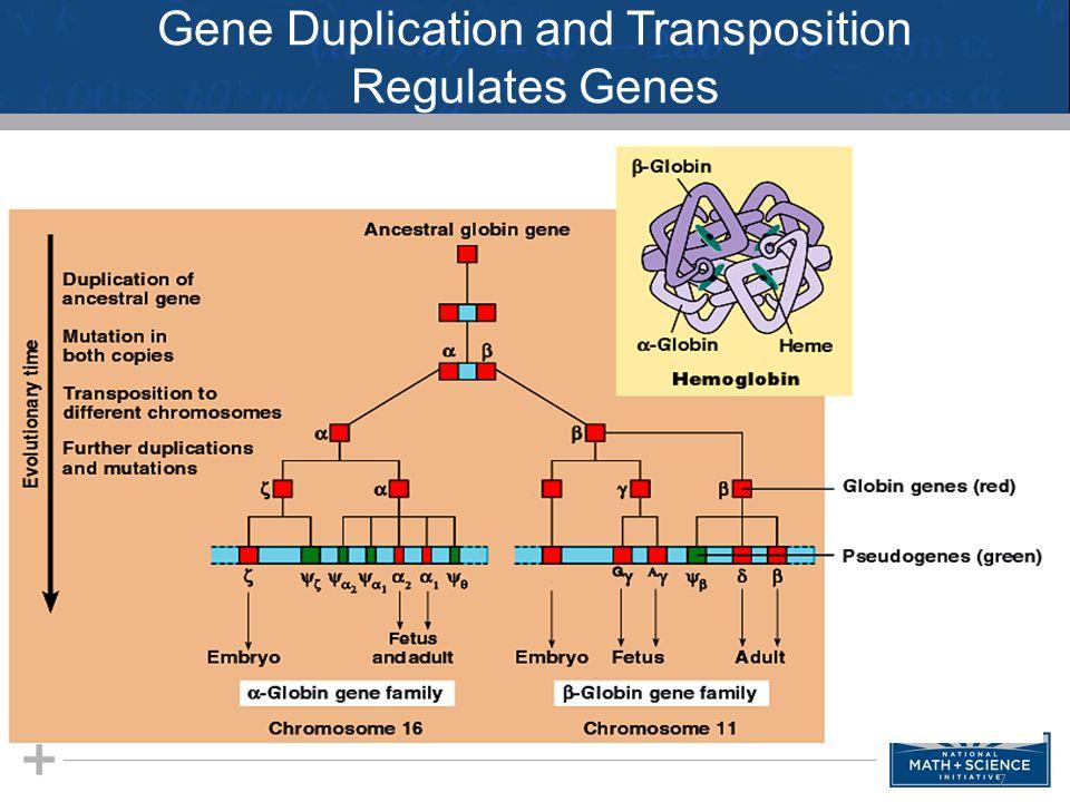 Gene Duplication and Transposition Regulates Genes 7