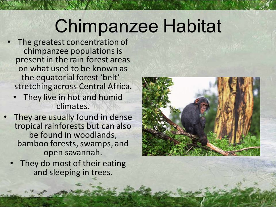 Chimpanzee Habitat The greatest concentration of chimpanzee populations is present in the rain forest areas on what used to be known as the equatorial forest 'belt' - stretching across Central Africa.