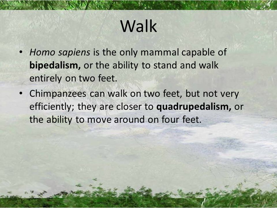 Walk Homo sapiens is the only mammal capable of bipedalism, or the ability to stand and walk entirely on two feet.