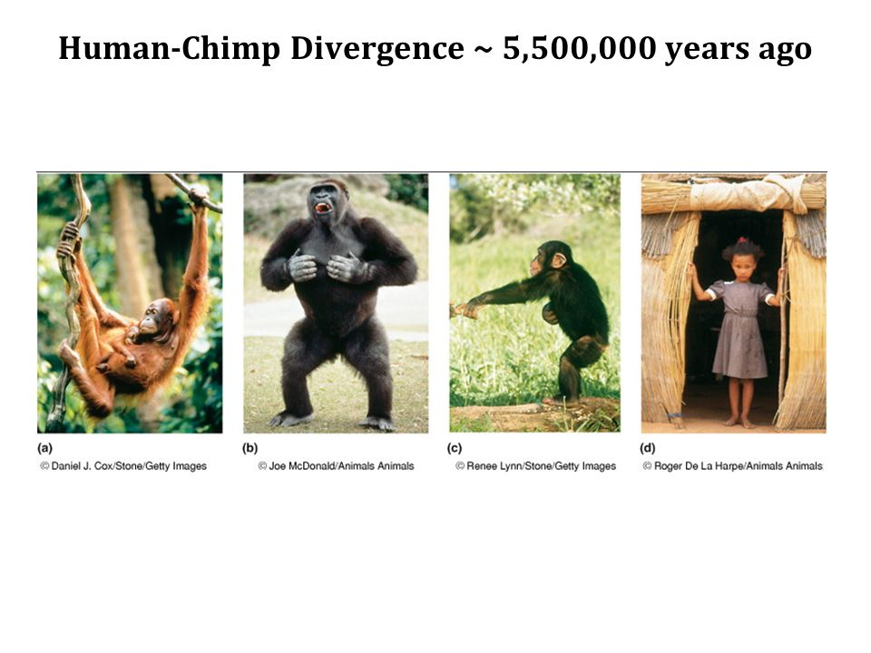 Human-Chimp Divergence ~ 5,500,000 years ago
