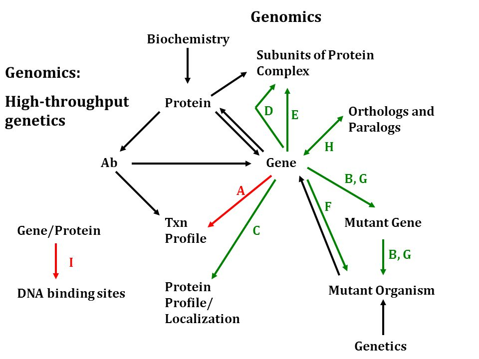 Ab Protein Txn Profile Gene Orthologs and Paralogs Mutant Gene Biochemistry Genetics Mutant Organism A C F Subunits of Protein Complex B, G D E Protein Profile/ Localization Genomics: High-throughput genetics Genomics B, G H Gene/Protein DNA binding sites I