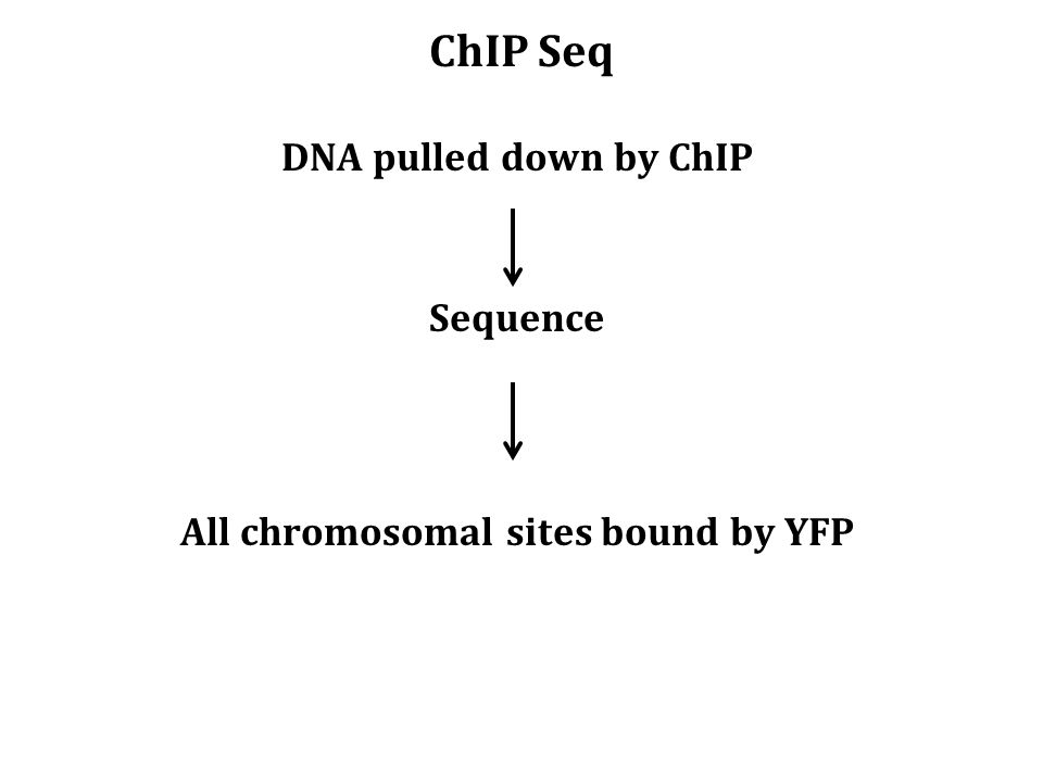 ChIP Seq DNA pulled down by ChIP Sequence All chromosomal sites bound by YFP