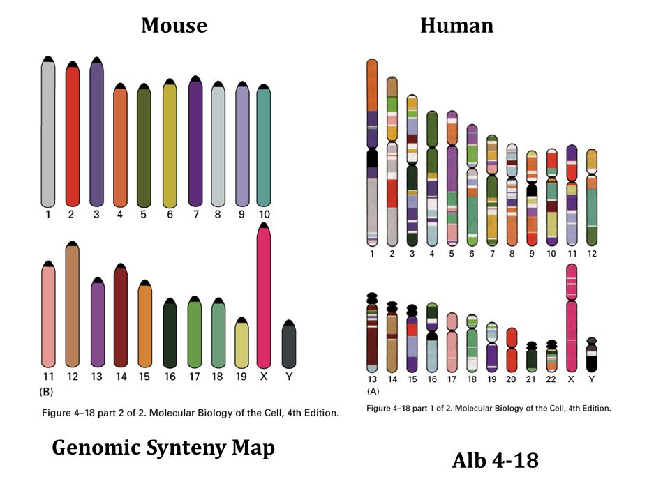 Mouse Chr. 16- Human Comparison Science 296: 1661-1671 31 May 2002 Synteny