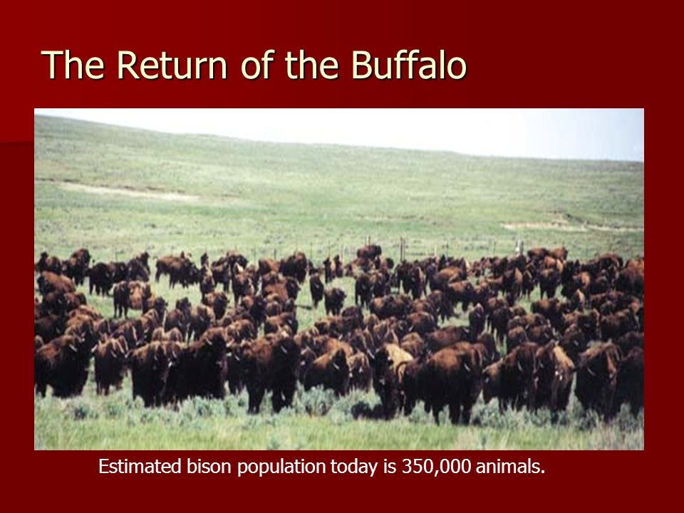 The Return of the Buffalo Estimated bison population today is 350,000 animals.