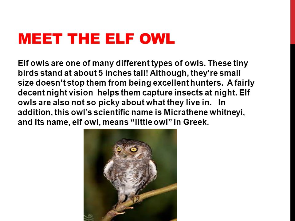 MEET THE ELF OWL Elf owls are one of many different types of owls.