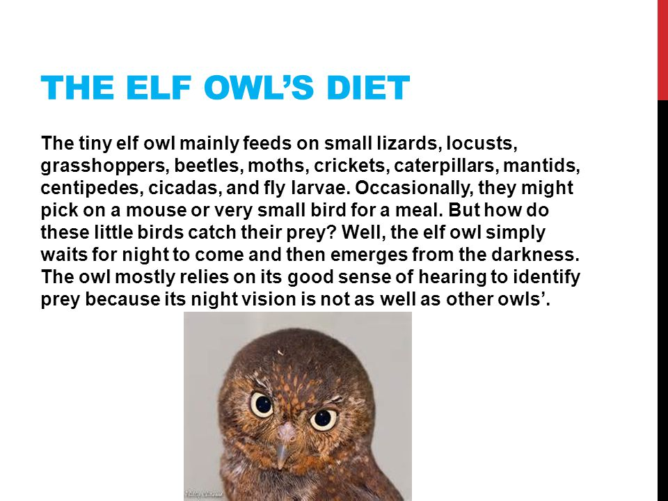 THE ELF OWL'S DIET The tiny elf owl mainly feeds on small lizards, locusts, grasshoppers, beetles, moths, crickets, caterpillars, mantids, centipedes, cicadas, and fly larvae.