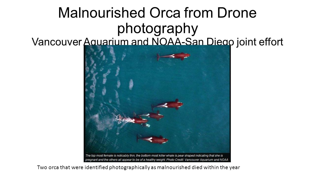 Malnourished Orca from Drone photography Vancouver Aquarium and NOAA-San Diego joint effort Two orca that were identified photographically as malnourished died within the year