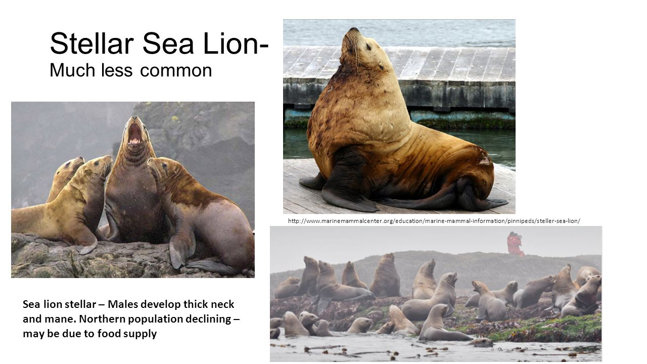 Stellar Sea Lion- Much less common http://www.marinemammalcenter.org/education/marine-mammal-information/pinnipeds/steller-sea-lion/ Sea lion stellar – Males develop thick neck and mane.