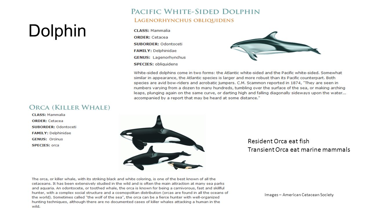 Dolphin Resident Orca eat fish Transient Orca eat marine mammals Images – American Cetacean Society