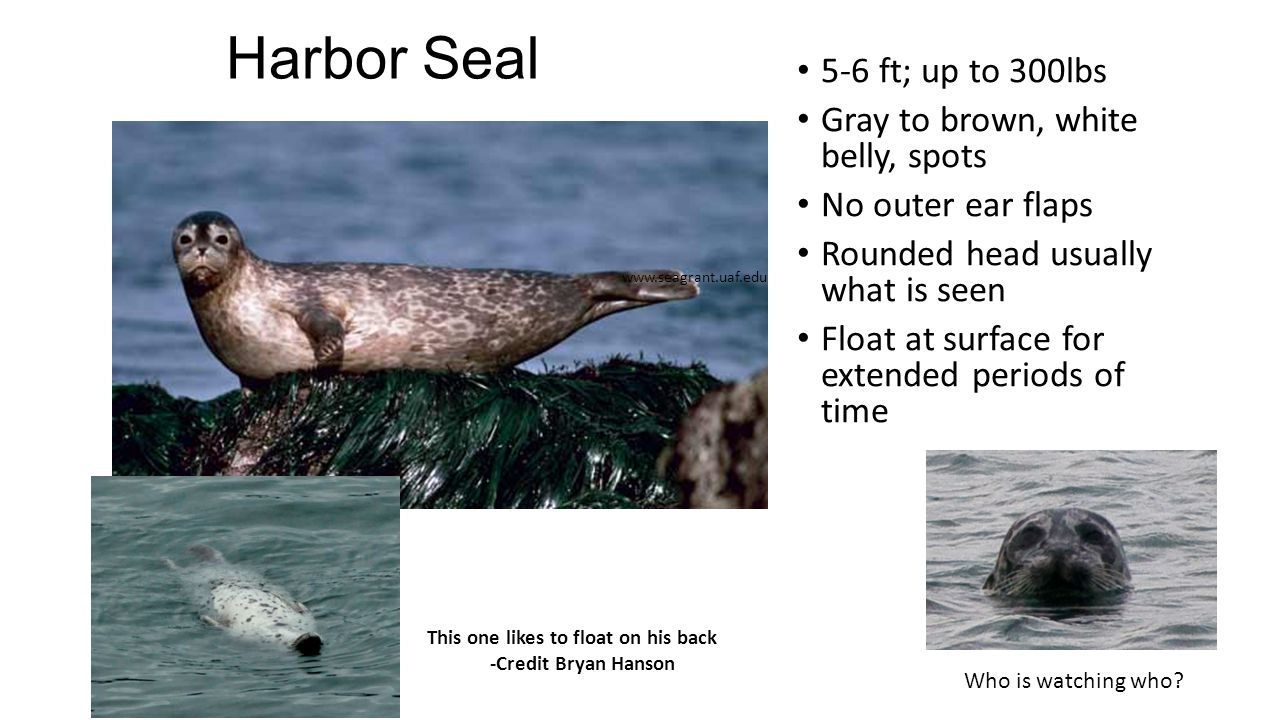 Harbor Seal 5-6 ft; up to 300lbs Gray to brown, white belly, spots No outer ear flaps Rounded head usually what is seen Float at surface for extended periods of time www.seagrant.uaf.edu This one likes to float on his back -Credit Bryan Hanson Who is watching who?