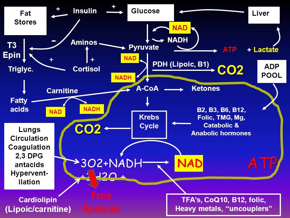 Glucose LiverFat Stores Fatty acids Pyruvate Lactate + Lactate CO2 NAD Carnitine PDH (Lipoic, B1) NAD Krebs Cycle B2, B3, B6, B12, Folic, TMG, Mg, Cat