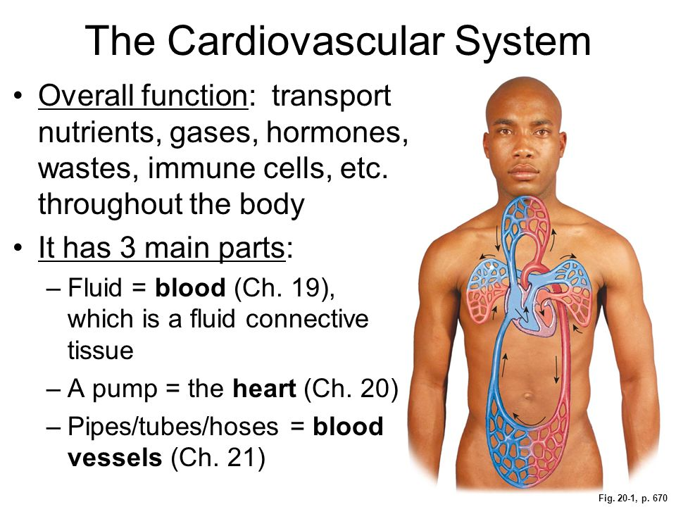 Fig. 20-1, p. 670 The Cardiovascular System Overall function: transport nutrients, gases, hormones, wastes, immune cells, etc. throughout the body It