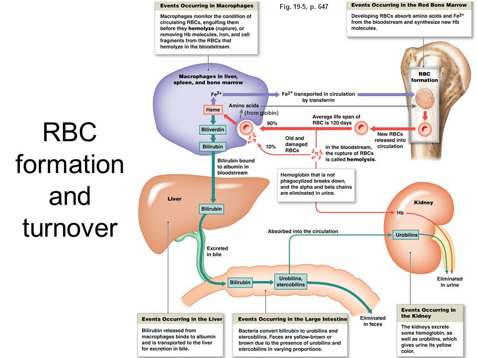 RBC formation and turnover Fig. 19-5, p. 647 (from globin)