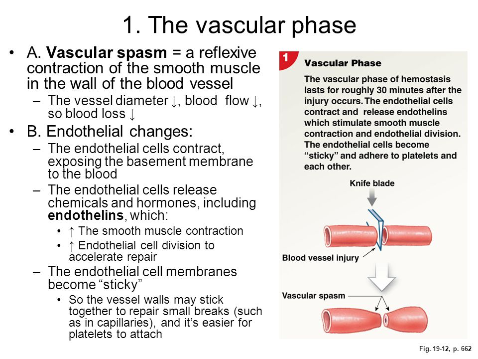 Fig. 19-12, p. 662 1. The vascular phase A. Vascular spasm = a reflexive contraction of the smooth muscle in the wall of the blood vessel –The vessel