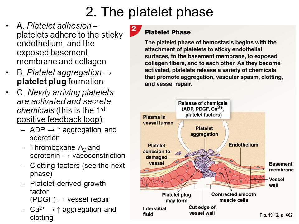 Fig. 19-12, p. 662 2. The platelet phase A. Platelet adhesion – platelets adhere to the sticky endothelium, and the exposed basement membrane and coll