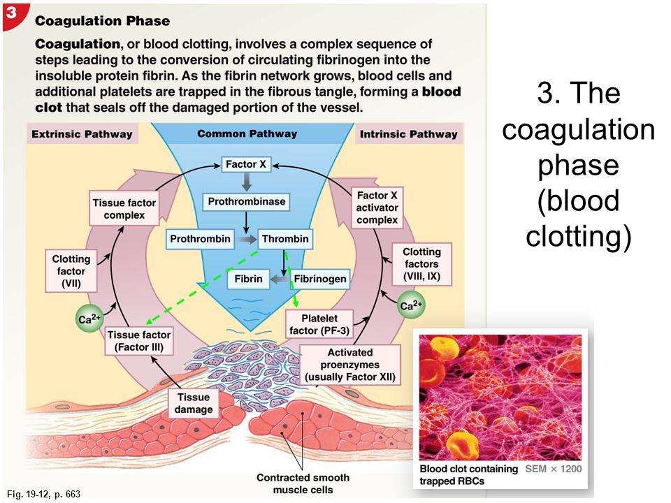Fig. 19-12, p. 663 3. The coagulation phase (blood clotting)