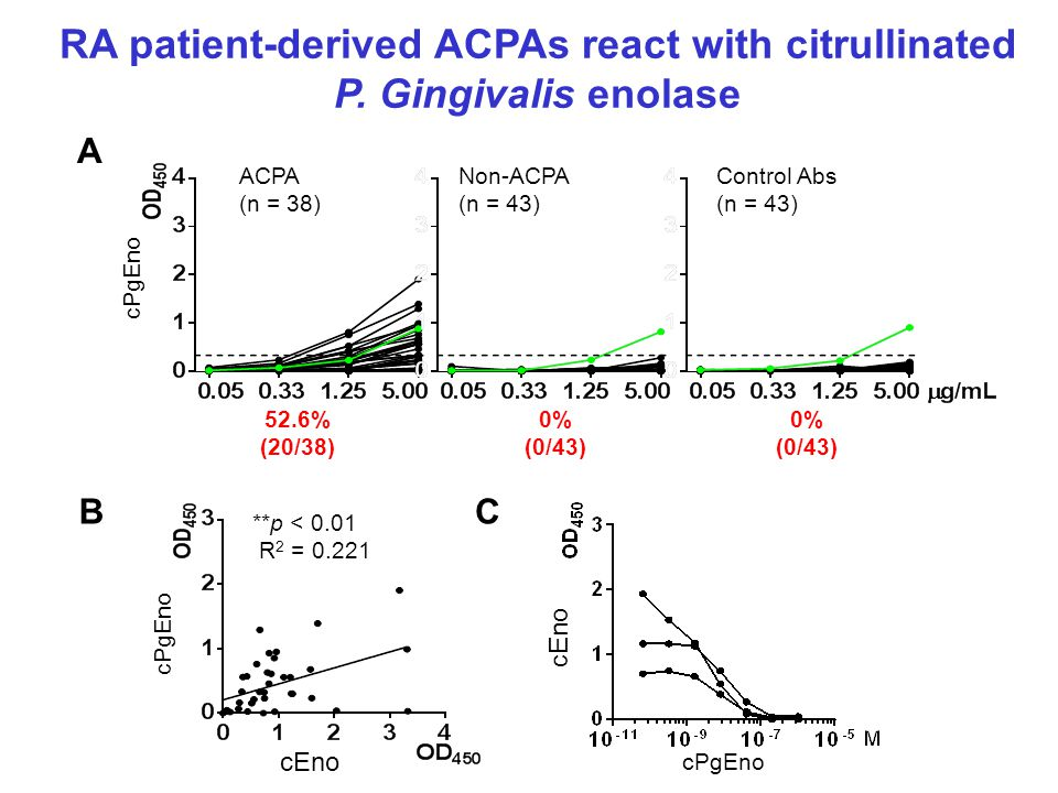 RA patient-derived ACPAs react with citrullinated P.