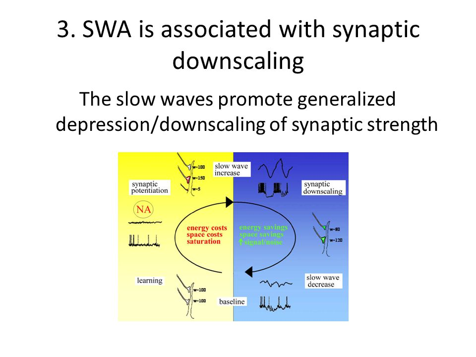 3. SWA is associated with synaptic downscaling The slow waves promote generalized depression/downscaling of synaptic strength
