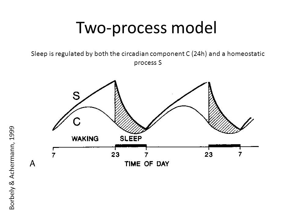 Two-process model Sleep is regulated by both the circadian component C (24h) and a homeostatic process S Borbely & Achermann, 1999