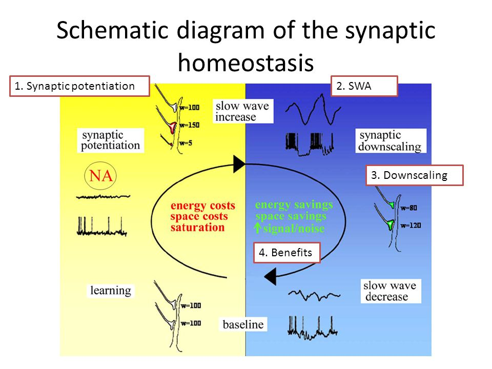 Schematic diagram of the synaptic homeostasis 1. Synaptic potentiation2. SWA 3. Downscaling 4. Benefits