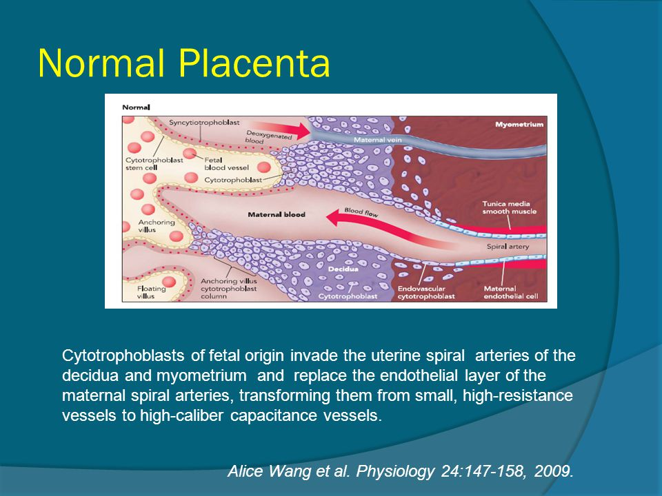 Normal Placenta Alice Wang et al. Physiology 24:147-158, 2009. Cytotrophoblasts of fetal origin invade the uterine spiral arteries of the decidua and