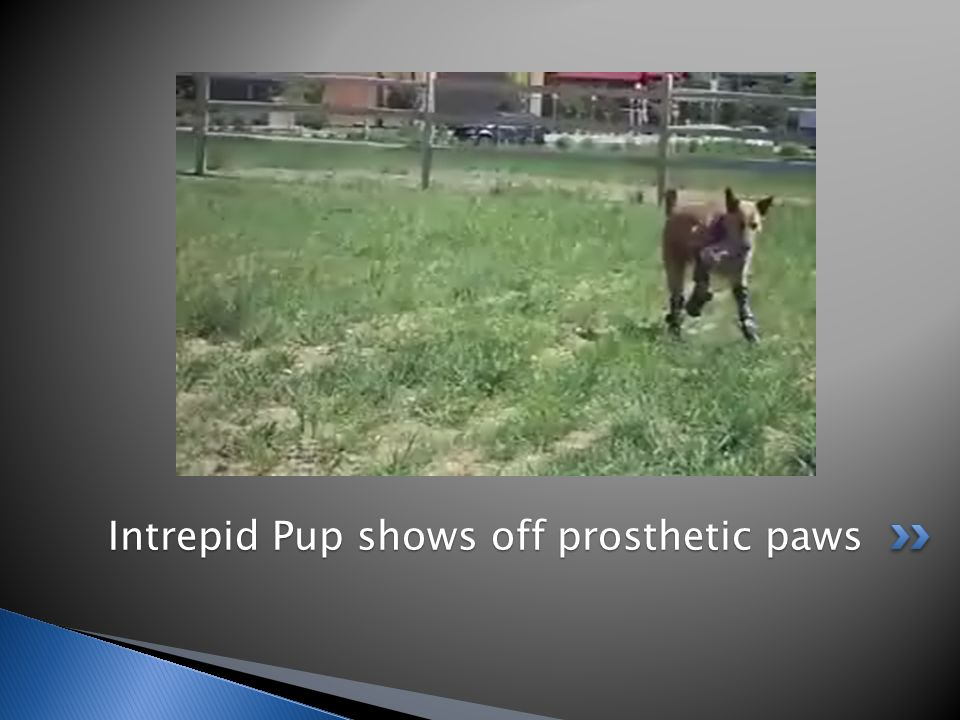 Intrepid Pup shows off prosthetic paws