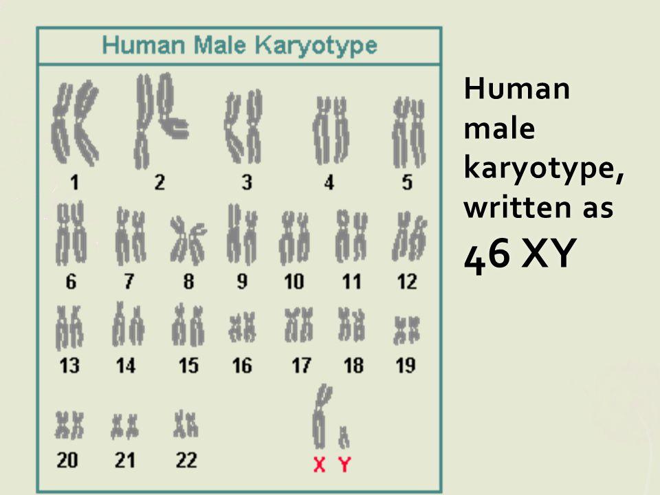 Human male karyotype, written as 46 XY
