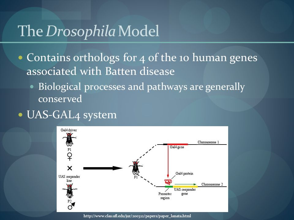 The Drosophila Model Contains orthologs for 4 of the 10 human genes associated with Batten disease Biological processes and pathways are generally conserved UAS-GAL4 system http://www.clas.ufl.edu/jur/200312/papers/paper_lanata.html