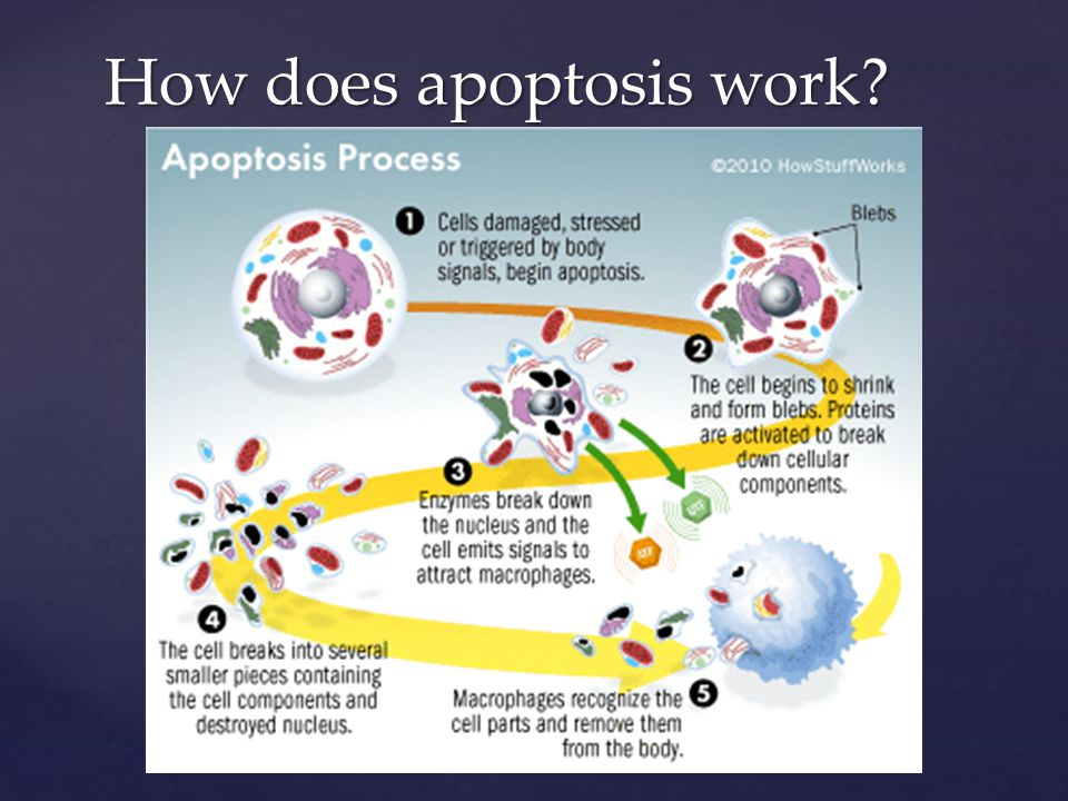 How does apoptosis work
