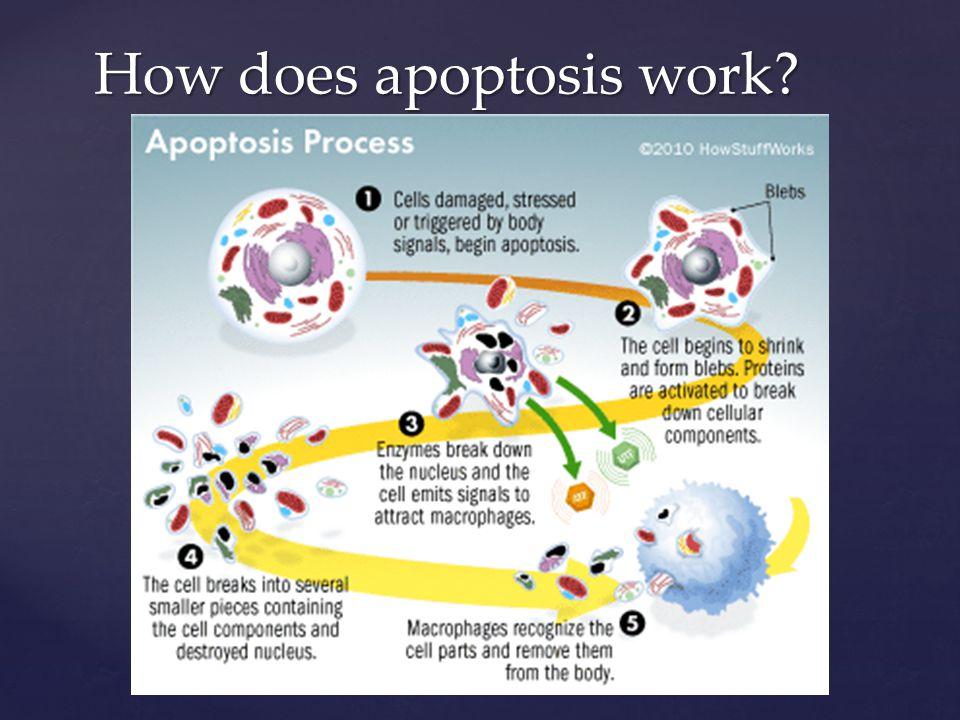 The Apoptotic Molecules