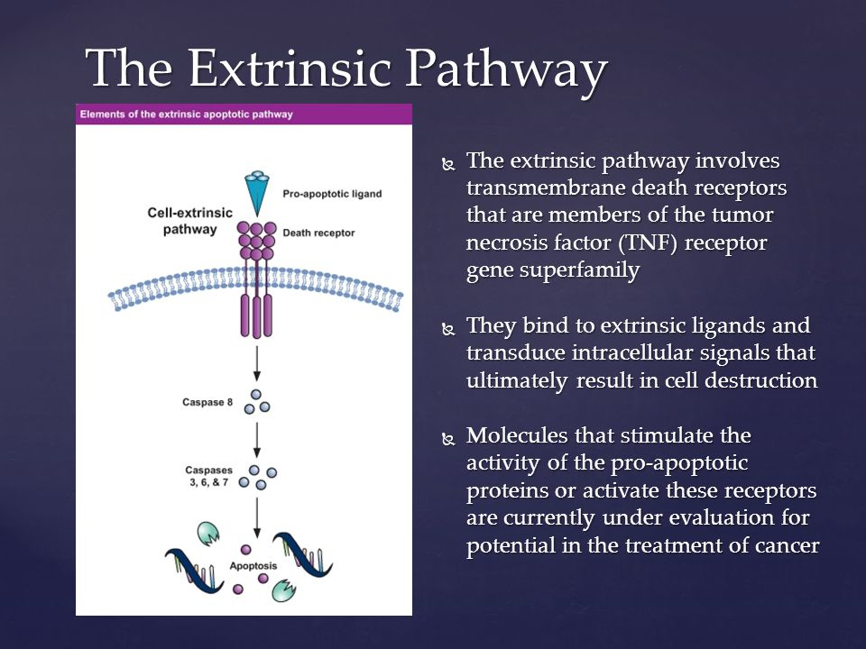 The Extrinsic Pathway  The extrinsic pathway involves transmembrane death receptors that are members of the tumor necrosis factor (TNF) receptor gene superfamily  They bind to extrinsic ligands and transduce intracellular signals that ultimately result in cell destruction  Molecules that stimulate the activity of the pro-apoptotic proteins or activate these receptors are currently under evaluation for potential in the treatment of cancer