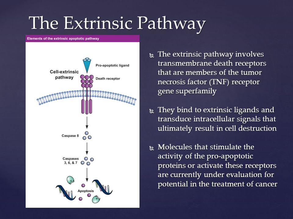 Cells undergoing apoptosis