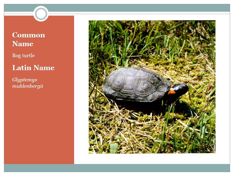 Common Name Bog turtle Latin Name Glyptemys muhlenbergii
