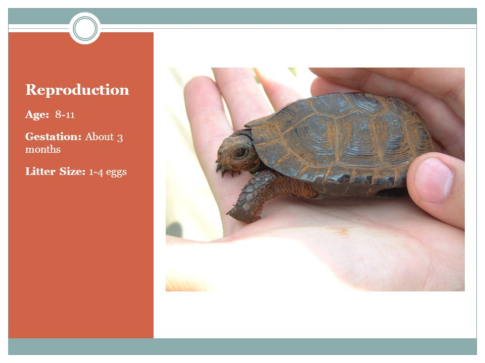 Reproduction Age: 8-11 Gestation: About 3 months Litter Size: 1-4 eggs