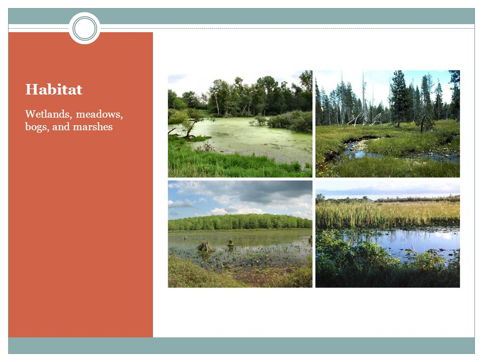 Habitat Wetlands, meadows, bogs, and marshes