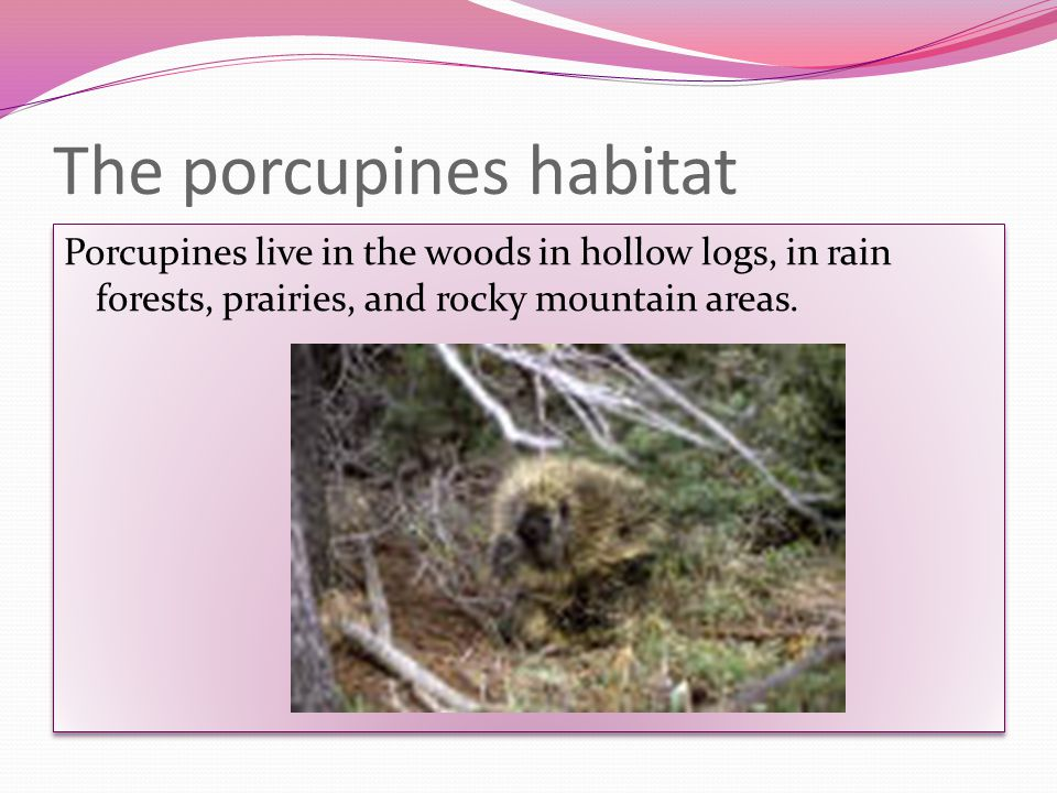 About the babies Porcupines babies are called porcupettes.