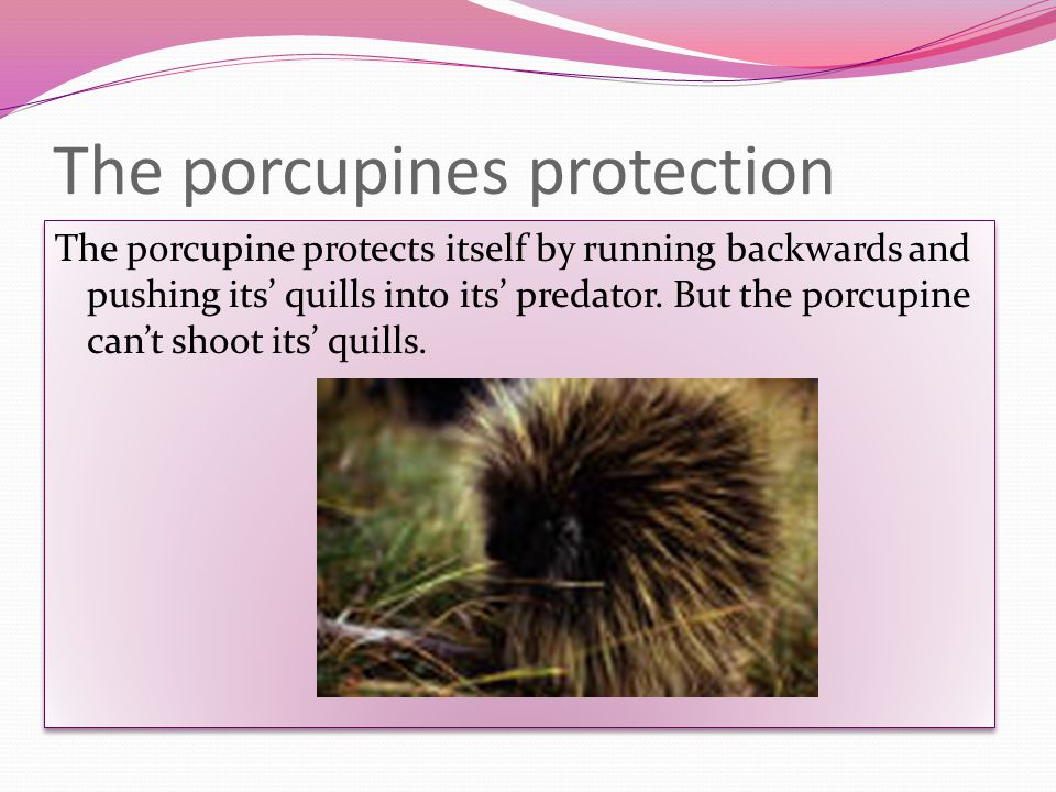 The porcupines predators The porcupines predators are Fishers (part of the weasel family), Martens, Wolverines, Pythons, Eagles, Great Horned Owls, and Wolves.