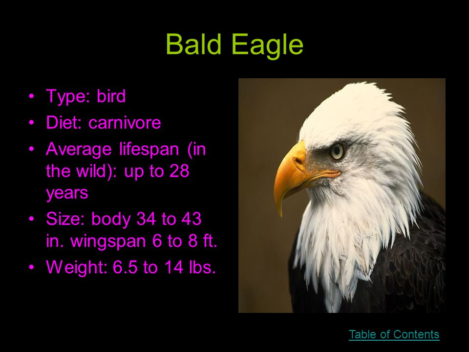 Bald Eagle Type: bird Diet: carnivore Average lifespan (in the wild): up to 28 years Size: body 34 to 43 in.
