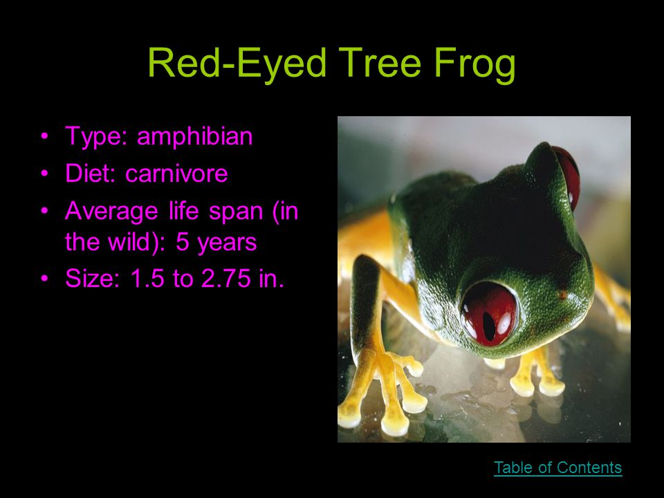 Red-Eyed Tree Frog Type: amphibian Diet: carnivore Average life span (in the wild): 5 years Size: 1.5 to 2.75 in.