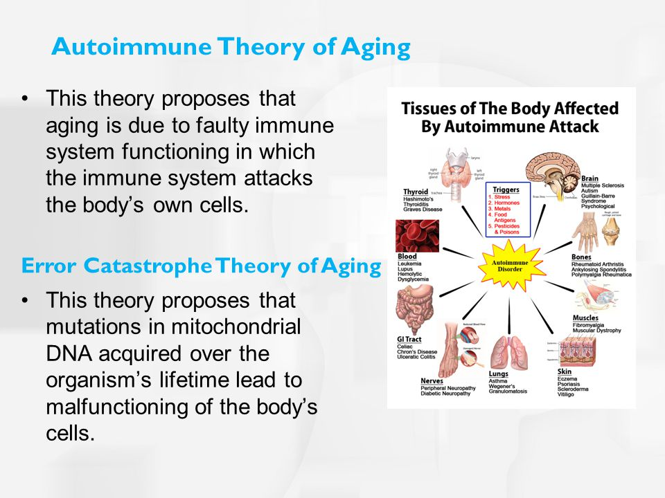 Autoimmune Theory of Aging This theory proposes that aging is due to faulty immune system functioning in which the immune system attacks the body's own cells.